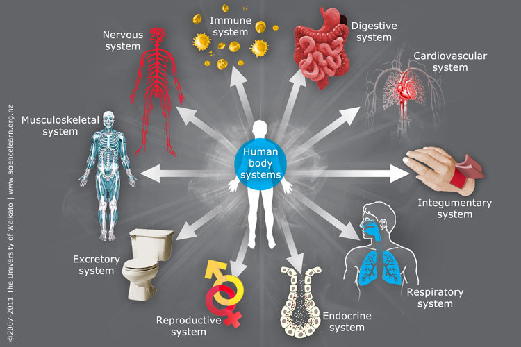 Body systems — Science Learning Hub