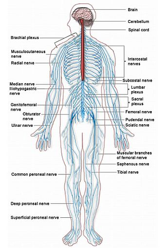 Nervous system — Science Learning Hub