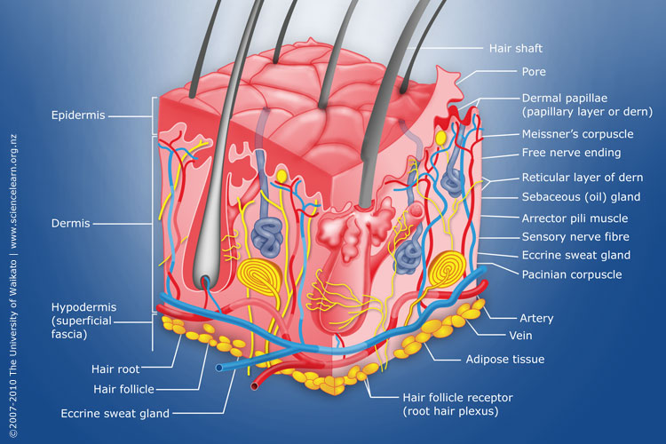 Diagram of human skin structure — Science Learning HubScience Learning Hub
