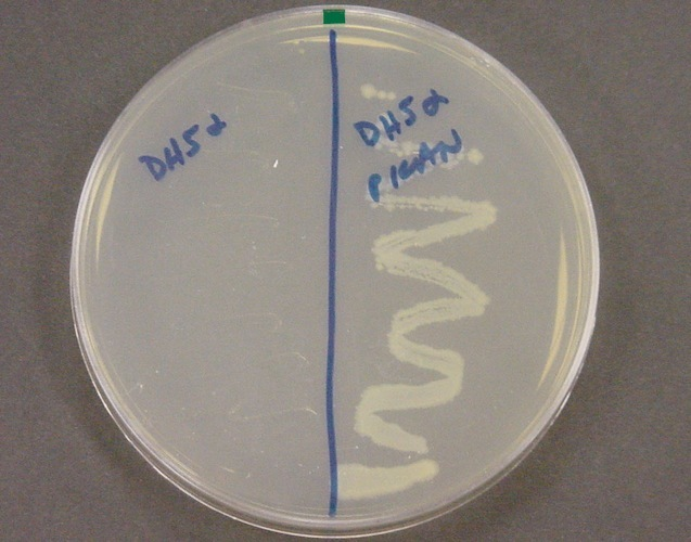 Bacterial Dna The Role Of Plasmids Science Learning Hub