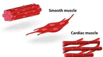 Muscle Structure Muscle Under The Microscope Science Learning Hub