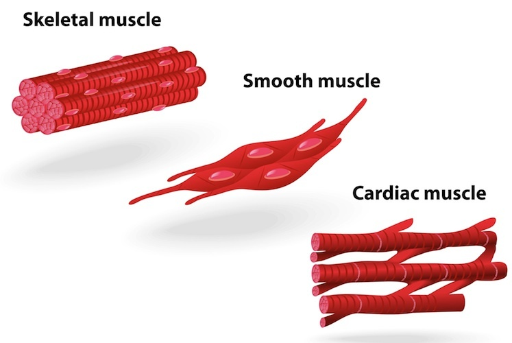 Types Of Muscle Tissue Science Learning Hub