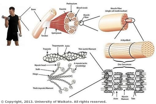 muscle structure  u2014 science learning hub