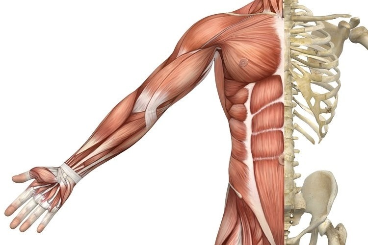 Skeletal Muscles Of The Torso And Arm Science Learning Hub