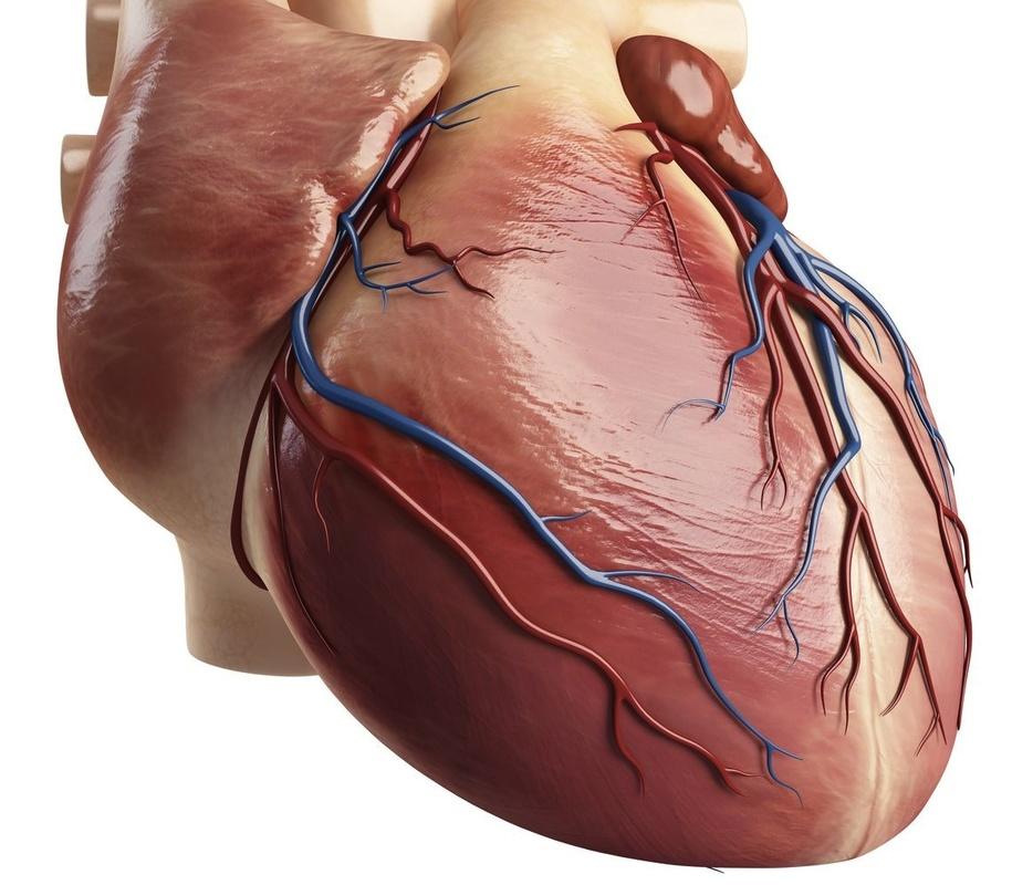 Cardiac muscle — Science Learning Hub