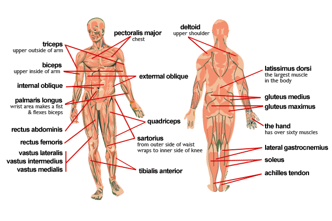 Muscles in the body — Science Learning Hub