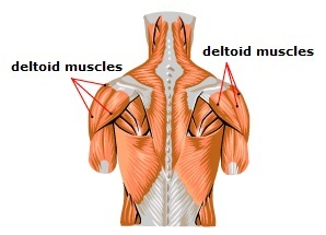 Meet some muscles — Science Learning Hub