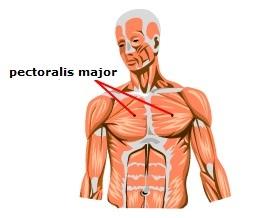 Основная мышца грудной клетки