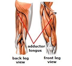 adductor longus muscle