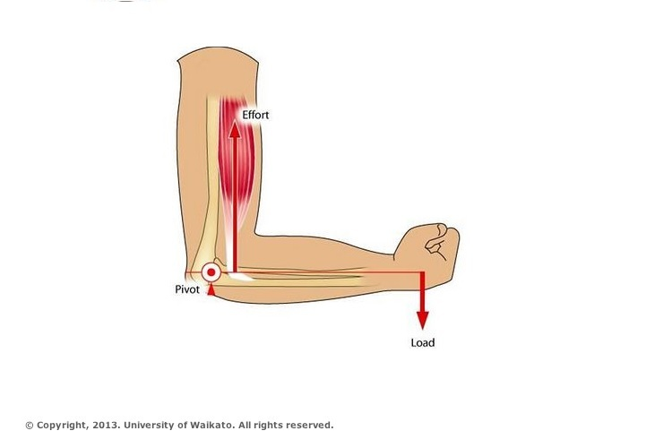 Lever Arm Diagram : Bent arm — science learning hub