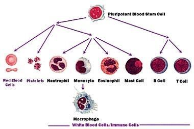 Blood stem cell differentiation science learning hub blood stem cell differentiation ccuart Images