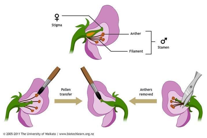 cross pollination of pea plants \u2014 science learning hub Avocado Plant Diagram
