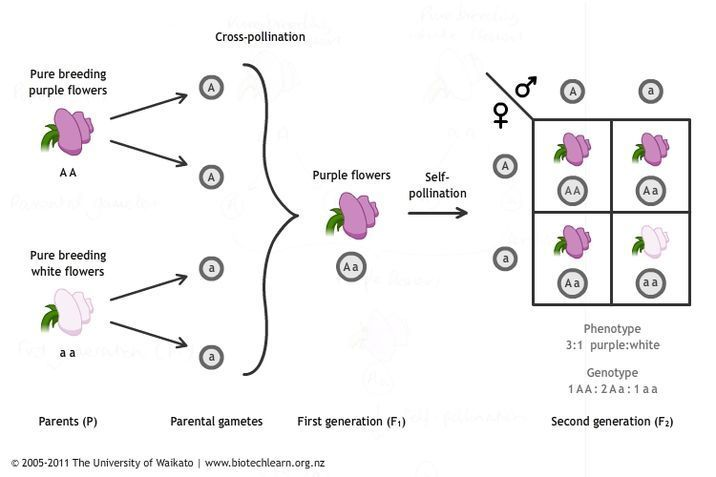 Inheriting traits in peas — Science Learning Hub