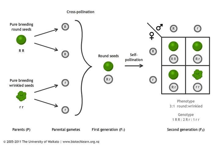 inheritance of a single trait in peas  u2014 science learning hub