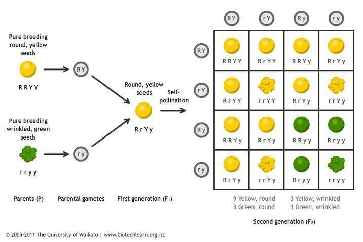 Mendels principles of inheritance Science Learning Hub – Gregor Mendel Worksheet