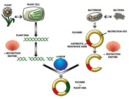transformation of bacterial cells with plasmid The next step is to insert the ligated dna into a bacterial cell for propagation this  is done by a technique called transformation bacterial cells are treated with.