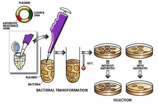 Bacterial transformation — Science Learning Hub