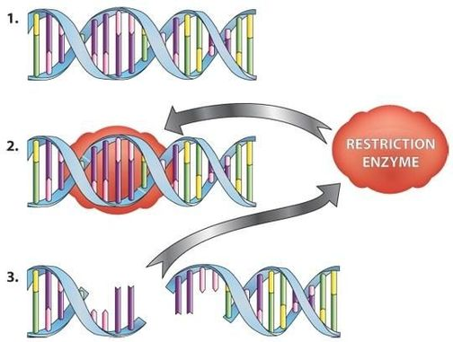restriction enzymes science learning hub