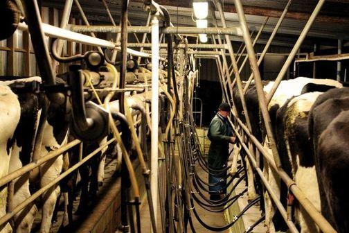 A Herringbone Milking Shed
