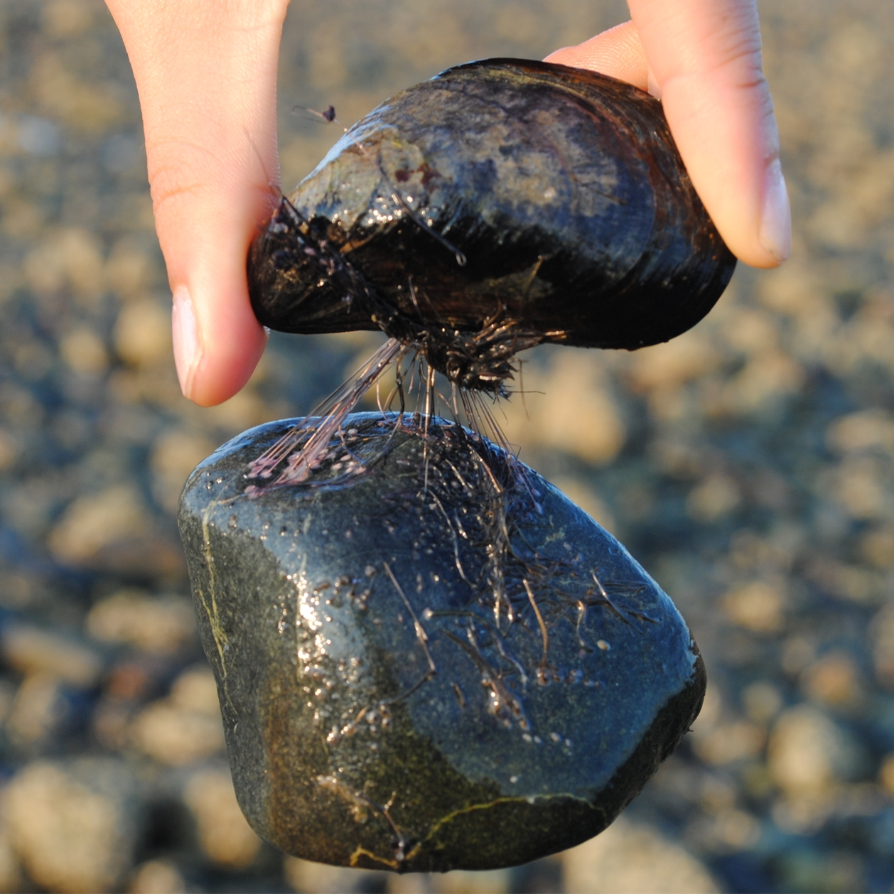 Mussels Sticky Secrets And Energy Absorbing Materials