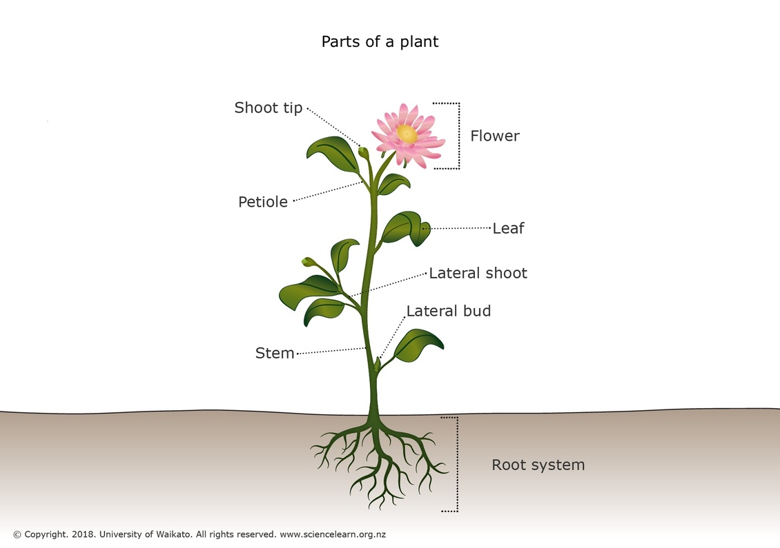 Parts    of a plant     Science Learning Hub