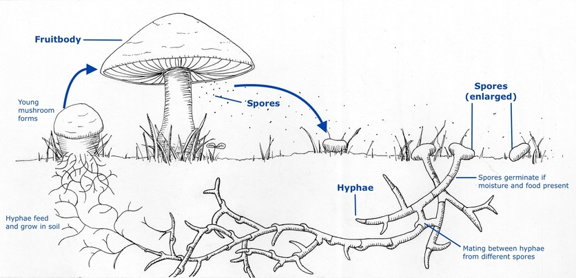 Fungal life cycles – spores and more — Science Learning Hub