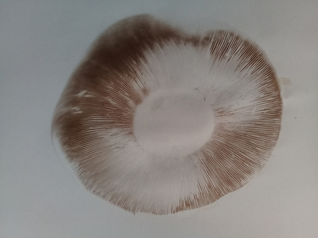 Portobello Mushroom Spore Print Science Learning Hub